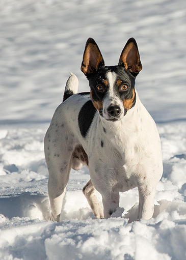 Indigo Rat Terriers North Idaho Rat Terrier Breeders